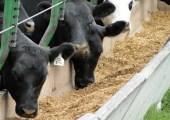 vacas-engorde a corral w