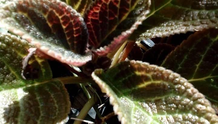 Begonia alas de angel