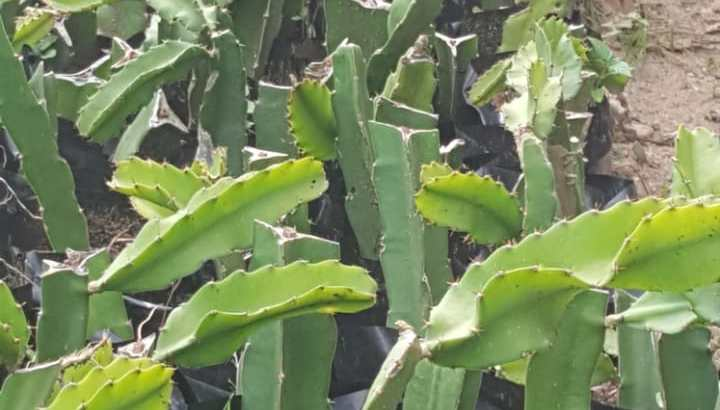 Vendo plantas de pitahaya