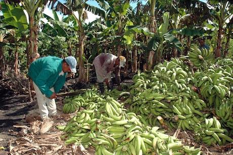 Aumenta el consumo de plátano en la República Dominicana