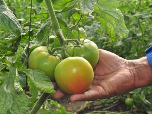 Tomates de ensalada