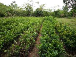 Plantas de limon