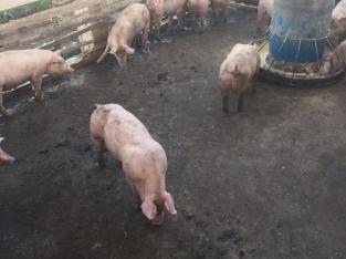 Vendemos cerdos