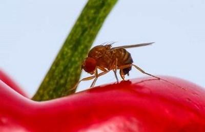CABI informa de las novedades en la lucha contra la mosca de la fruta