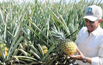 República Dominicana: Se instalará una empresa de producción de piña orgánica