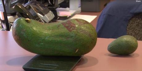 Cultivan en Hawái un aguacate del tamaño de un recién nacido