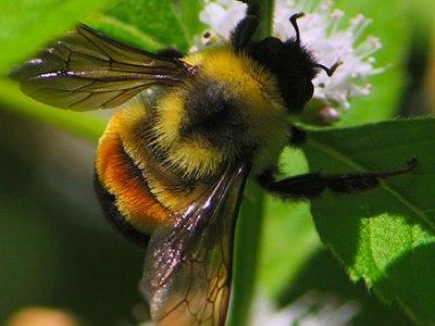 Confirman que los abejorros polinizadores de invernadero desplazan a los autóctonos