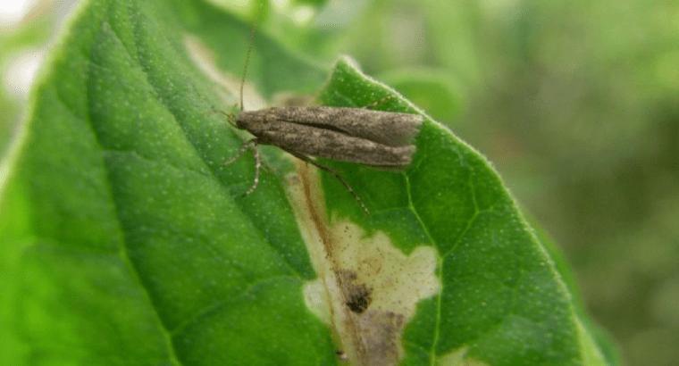 Agricultores ibicencos usan insectos para acabar con la plaga de la 'Tuta absoluta'