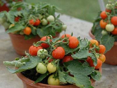 Colombia desarrolla la planta de tomate más pequeña del mundo