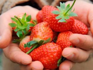 Tenemos muchas fresas