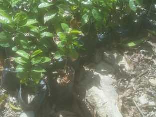 Plantas de guanábanas