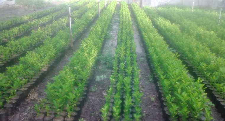 Plantas limón criollo