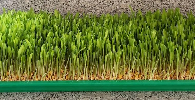 Alimento Hidropónico 100% Maize para los Ganados