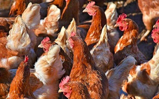 Tenemos gallinas ponedoras