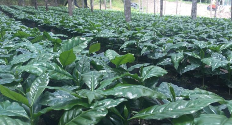 Plantas de café Castillo