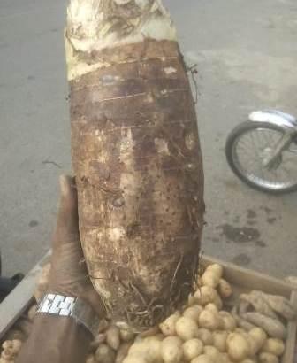 Plantas de yautia coco