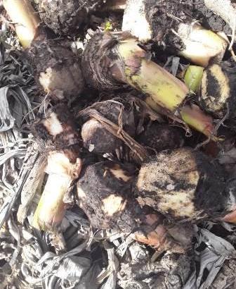 Cepas de plátanos criollos
