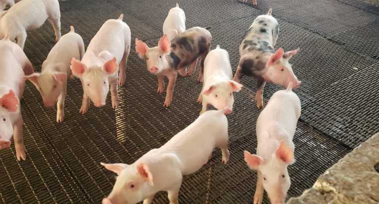 Cerdos al destete