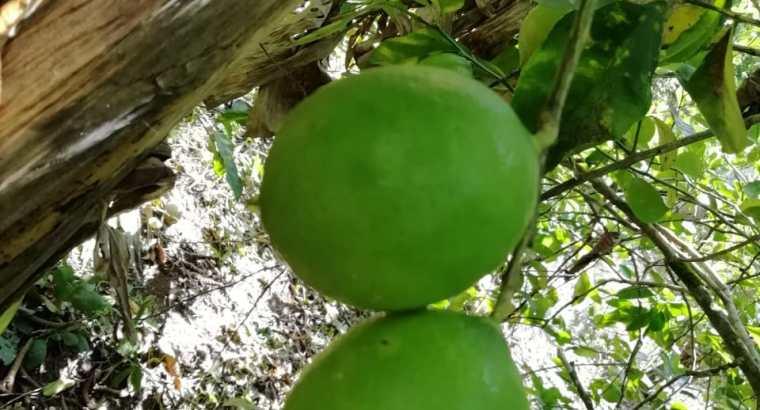 Vendo limon persa