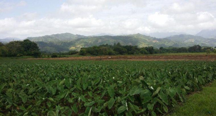 Plantas de yautía coco