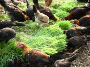 Forraje para gallinas