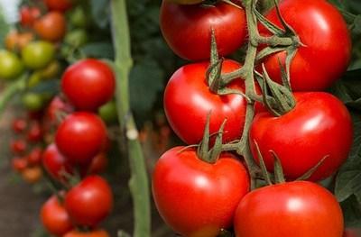 Acaba la guerra del tomate entre Estados Unidos y México
