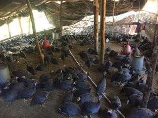 Vendemos guineas