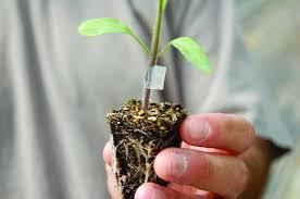 ¿Qué es un injerto de cultivo?