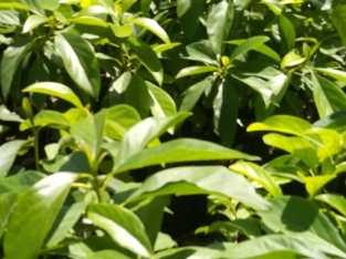 Plantas aguacates Semil