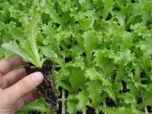 Plántulas de hortaliza