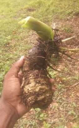Plantas de yautía blanca