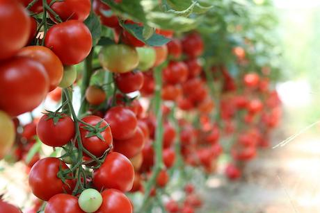 El primer insecticida ecológico para combatir «Tuta absoluta»