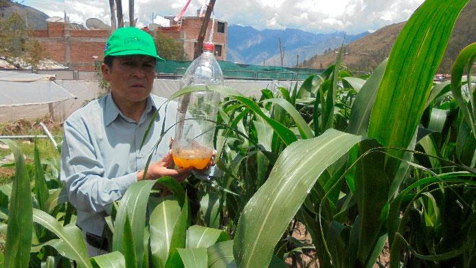 """Método práctico para capturar al gusano """"cogollero"""" de maíz"""
