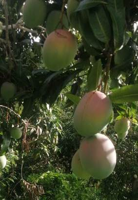 Vendemos mangos keith