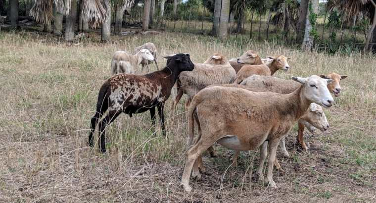 Vendo ovejas cruzadas