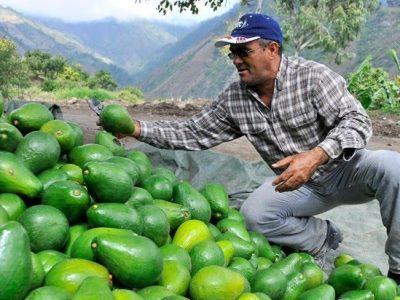 El aguacate dominicano está listo para comercializarse en China