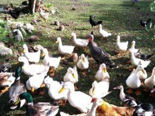 Se vende patos criollos