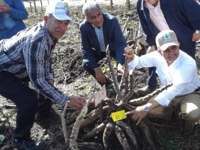 Nuevas variedades de yuca para consumo fresco e industrialización