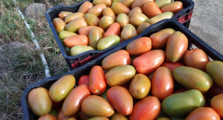 Tenemos tomates bugalú
