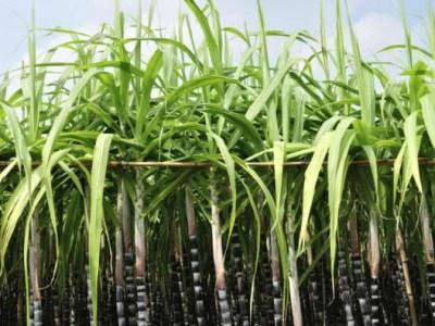 Publican la secuencia genómica más completa de la caña de azúcar comercial