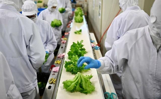 Sin tierra ni plaguicidas: Japón impulsa «fábricas de lechugas» a gran escala