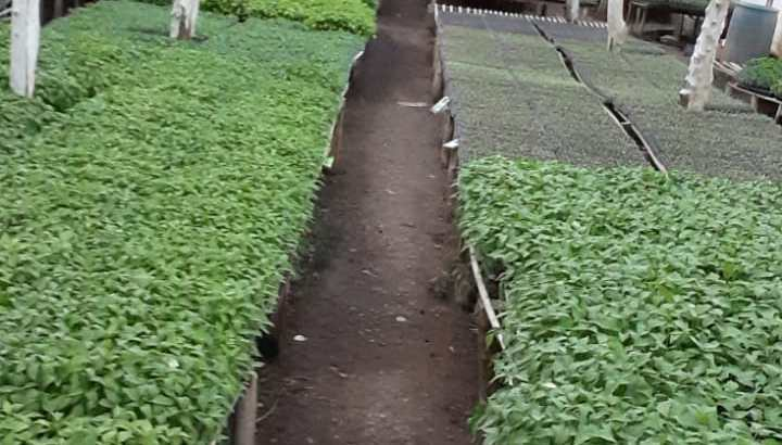 Tenemos plantas de aji