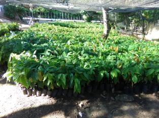 Tenemos plantas de cacao