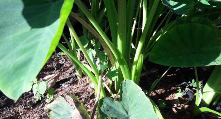 Venta de plantas de yautía