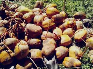 Venta de cocos de agua
