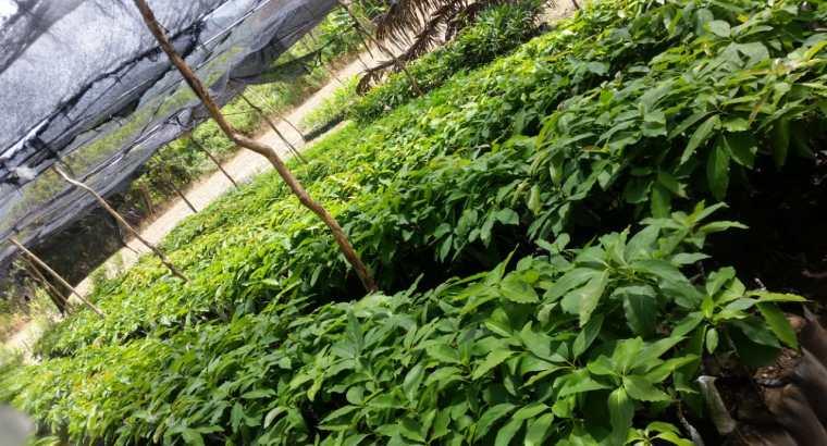 Plantas de aguacates Carla