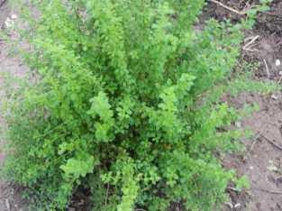 Plantas de oregano