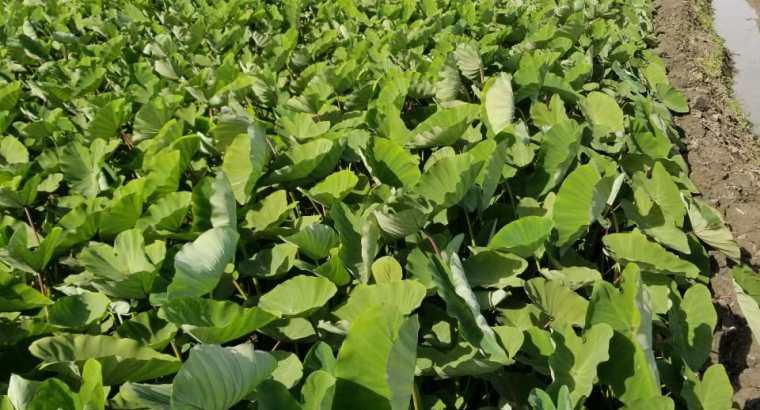 Vendo plantas de yautía