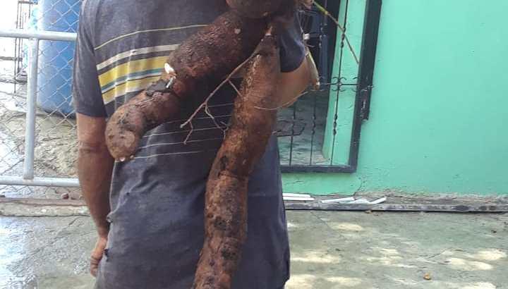 Se vende yuca mocana