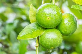 Limones al por mayor